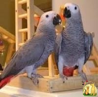 PARROTS FOR SALE AROUND THE GLOBE, Not_specified