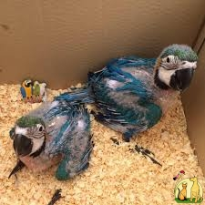 FERTILE BABY PARROTS FOR SALE, Not_specified
