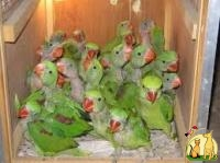 FERTILE BABY PAROTS FOR SALE BOTH MALE AND FEMALE, Not_specified
