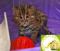 Продаю котят Кота-рыбалова (Prionailurus viverrinus) www.animalsimport.ru, Not_specified