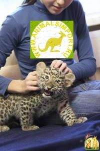 Продаю котят Леопарда (Panthera pardus orientalis) www.animalsimport.ru, Not_specified